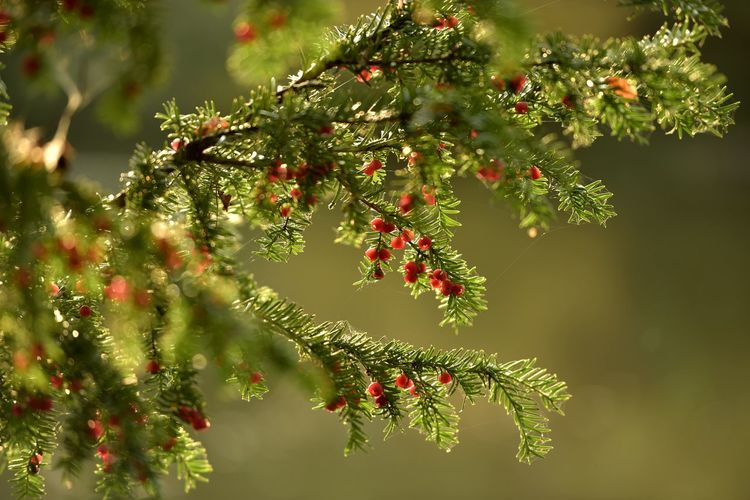 Tree Nature Pinaceae No People Outdoors Branch Day Green Color Autumn Beauty In Nature Close-up Freshness Sky Pine Tree Yew Tree Yew Berries Hadley Wood Forest Forest Photography