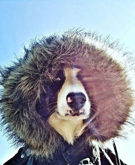 Australianshepherd Dog Bluesteel Aussie Aussies Pets