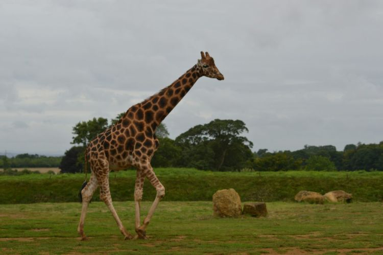 Beautiful Animals  Giraffe Cotswold Wildlife Park Animal Photography Wildlife Photography Animal_collection EyeEm Animal Lover Going For A Walk Check This Out