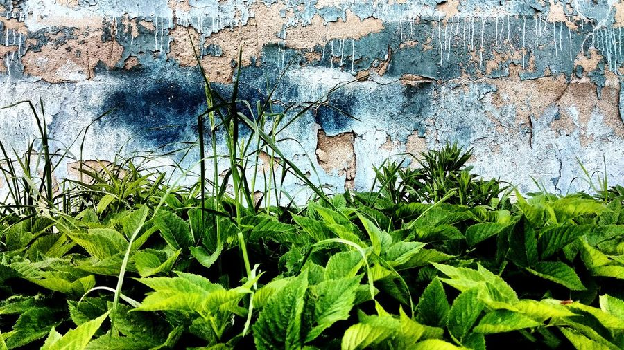 Four plants from behind the garbage... (1/4) Wall Destroyed Wall Green Green Color Weeds Vegetation Grass Blue Blue Wall Damaged Plaster Blue Paint Tree Leaf Backgrounds Full Frame Close-up Plant Sky Green Color Flora Foliage Botanical Spring Young Plant Plant Life