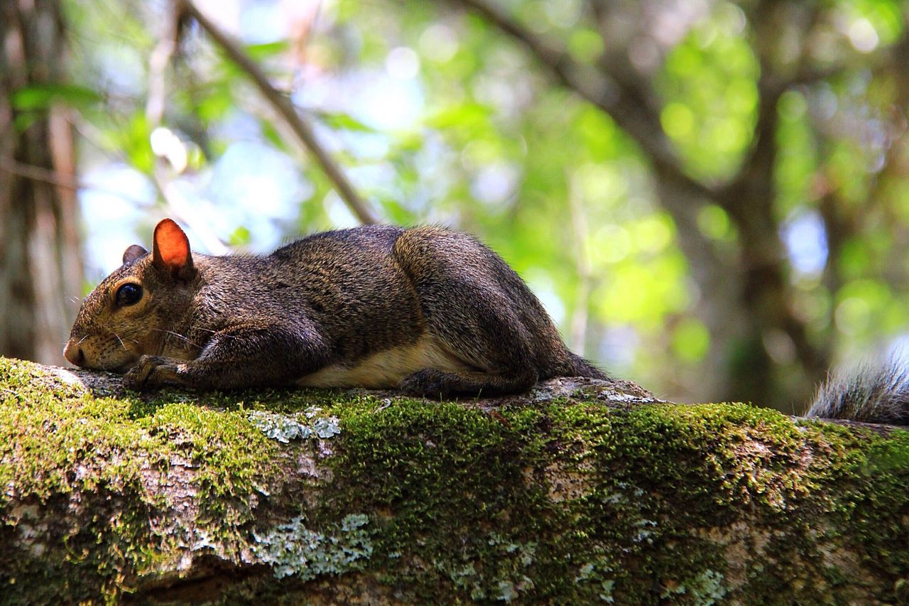 animal themes, animal, one animal, animals in the wild, animal wildlife, tree, mammal, rodent, vertebrate, plant, day, no people, nature, selective focus, close-up, squirrel, focus on foreground, outdoors, relaxation, forest