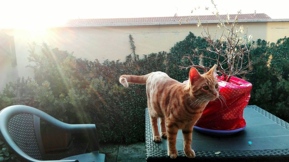 A proposito di Davis. Cat Animal Photography Animal Cats Of EyeEm Sunset Sunset_collection Red Cat Davis