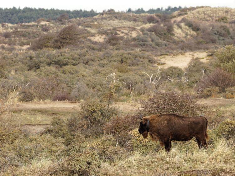 GPS tracked European Bison Gps Receiver Wisent European  Bison Dunes Of Holland Animal Animal Themes Mammal Land Plant Landscape Animal Wildlife Animals In The Wild No People