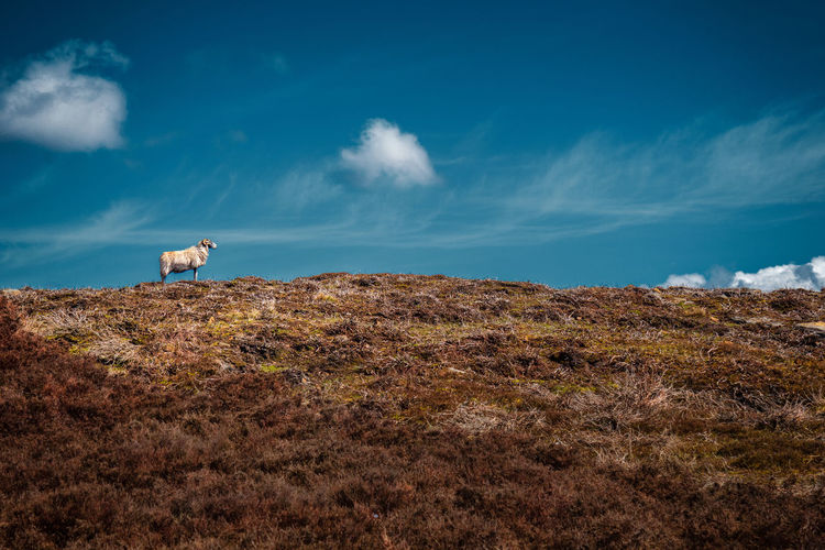 A lone ram takes in some sunshine. To see more of my work head to http://www.timothybarkerjr.com/ Animals In The Wild Beauty In Nature Blue Cloud Cloud - Sky Day Field Grass Hill Landscape Male Sheep Nature No People Rural Scene Scenics Sheep Sky Tranquil Scene Tranquility