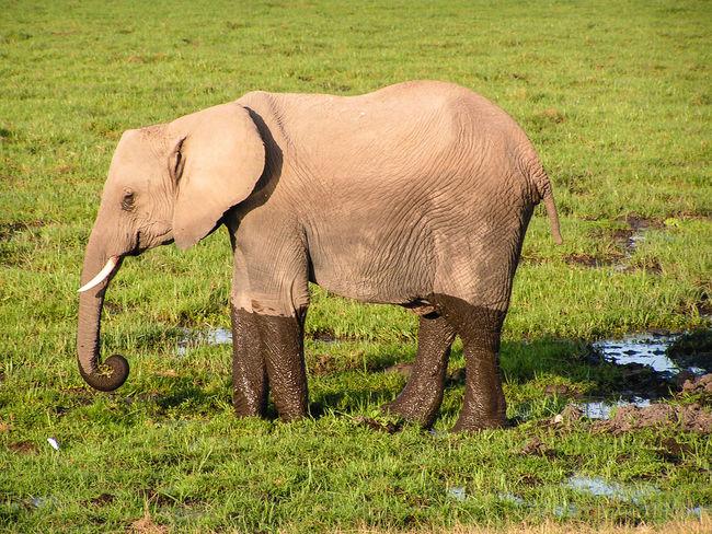 Africa Animal Themes Baby Day Desert Elefant Elephant Grass Group Of Elephants Mammal Marsh Masai Mara Moored National Park Nature Outdoors Park Safari Savanna Tsavo