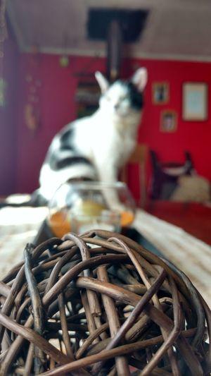 Cat♡ Domestic