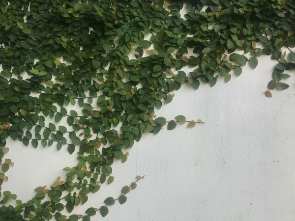 Green Color Plant Growth Leaf Plant Part Day Nature Outdoors Beauty In Nature Creeper Plant Built Structure High Angle View No People Ivy Water Tree Close-up Wall - Building Feature Architecture