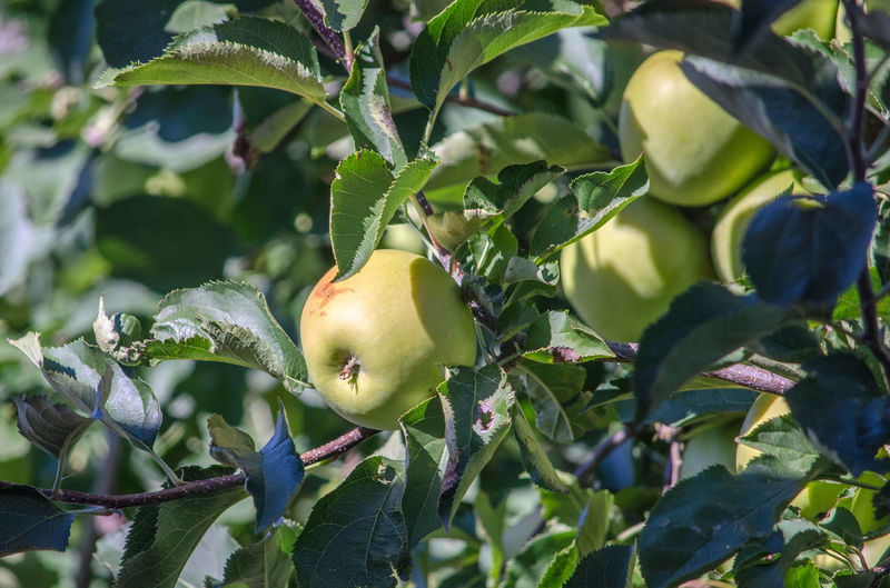 Close-up of apples on tree