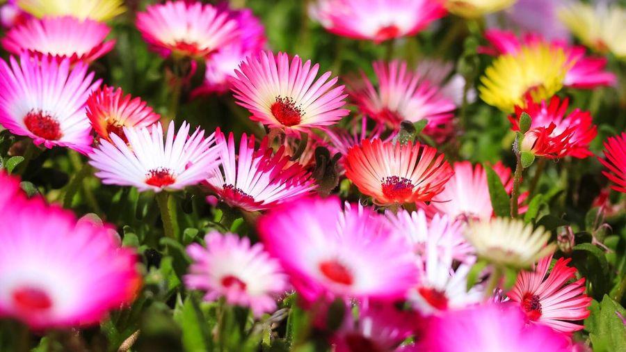 Flowers Livingstone Daisies