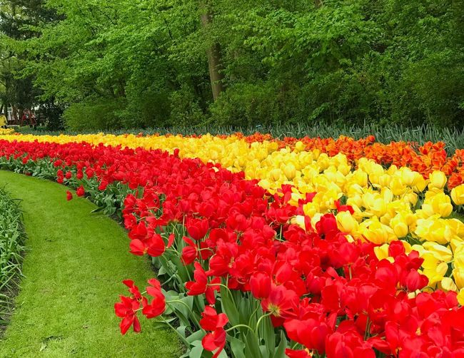 Scenic view of red tulip flowers