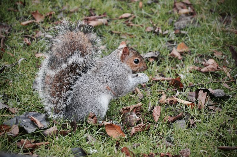 Squirrel London Regents Park Cute Nuts Nature Animals Pmg_lon