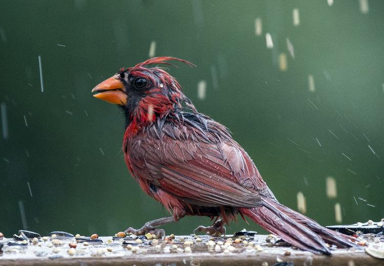 The Cardinal is wet Heavy Rain Northern Cardinal Animal Animal Themes Animal Wildlife Animals In The Wild Beak Bird Bird In The Rain Feather  Nature One Animal Soaking Wet Zoology