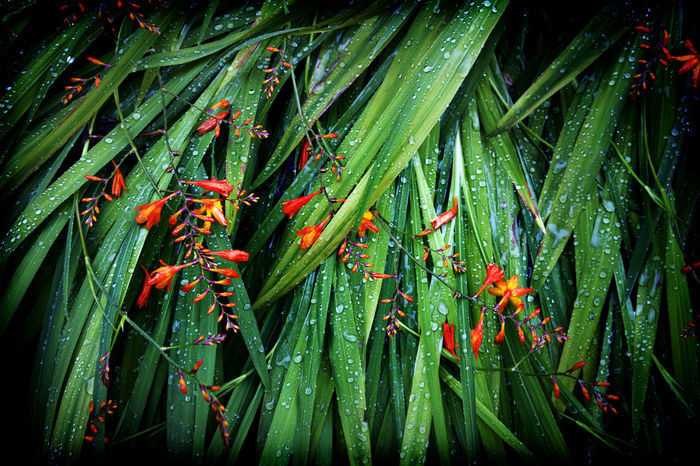 Backgrounds Beauty In Nature Botany Close-up Crocosmia Day Full Frame Garden Gardening Green Green Color Growing Growth Leaf Montbretia Nature No People Orange Outdoors Plant Rain Raindrops Rainy Red