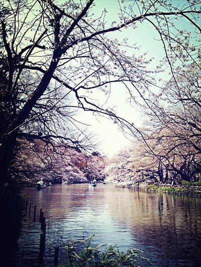 Beautiful Sakura