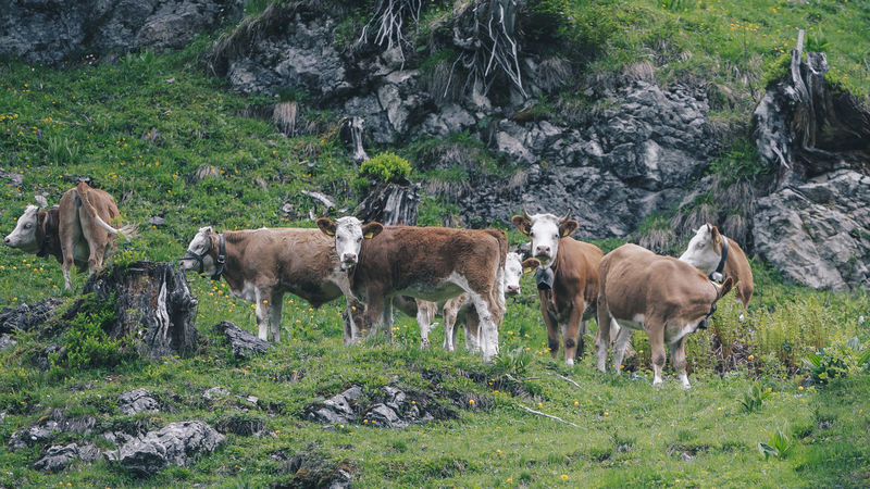 Group of cows on a hike to a waterfall. Animal Animal Themes Animal Wildlife Animals In The Wild Cow Cows Day Domestic Animals Field Grass Group Of Animals Herbivorous Herd Land Livestock Mammal Nature No People Outdoors Plant Rock Rock - Object Solid Standing Vertebrate