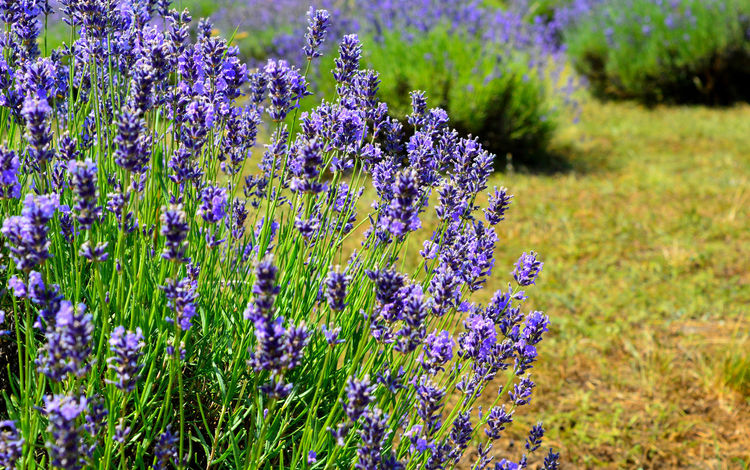 Nature Lavender Flower Purple Growth Levendula Lavender Festival Tihany Lavenderflower Lavender Field Outdoors Plant Lavenderlove Blooming Beauty In Nature Botany Showcase July Summer ☀ Summertime
