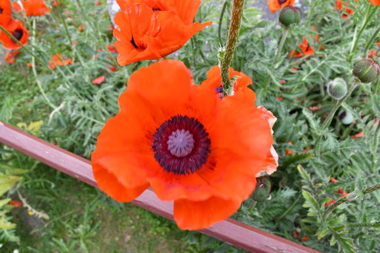 High angle view of orange poppy on field