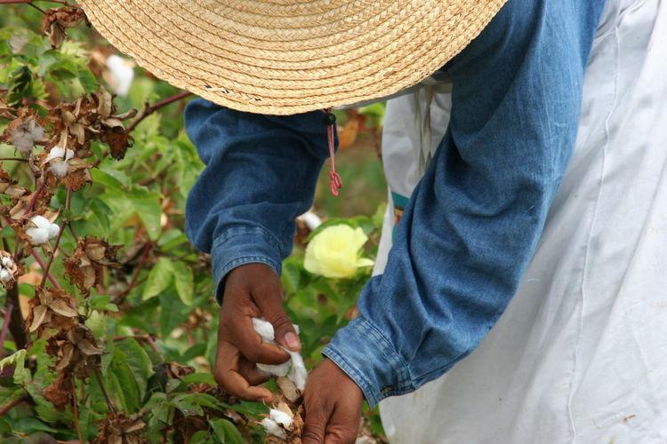 Harvesting Sea Island Cotton up close