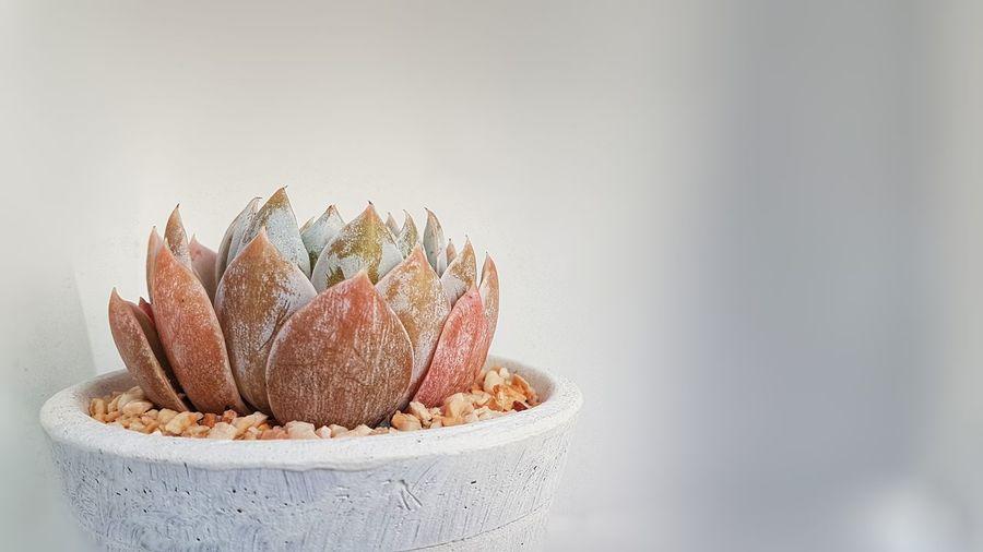 """Succulent_""""Sedum"""