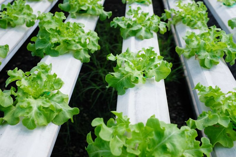 Freshness Food Plant Part Leaf Food And Drink Green Color Vegetable Healthy Eating Wellbeing Outdoors Still Life Raw Food High Angle View Day Growth No People Close-up Nature Lettuce Plant