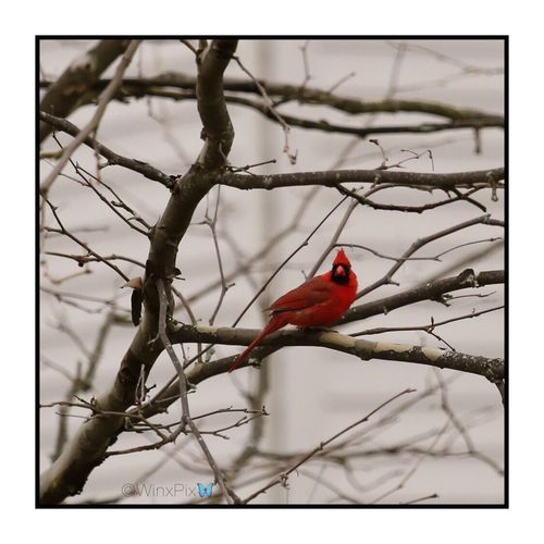 """""""Cardinal bird"""". Cardinal - Bird Cardinal Bird Cardinal Birds Red Bird Red Bird In Tree Red Birds Love Birds No People Just Nature Nature Love Nature Lover"""