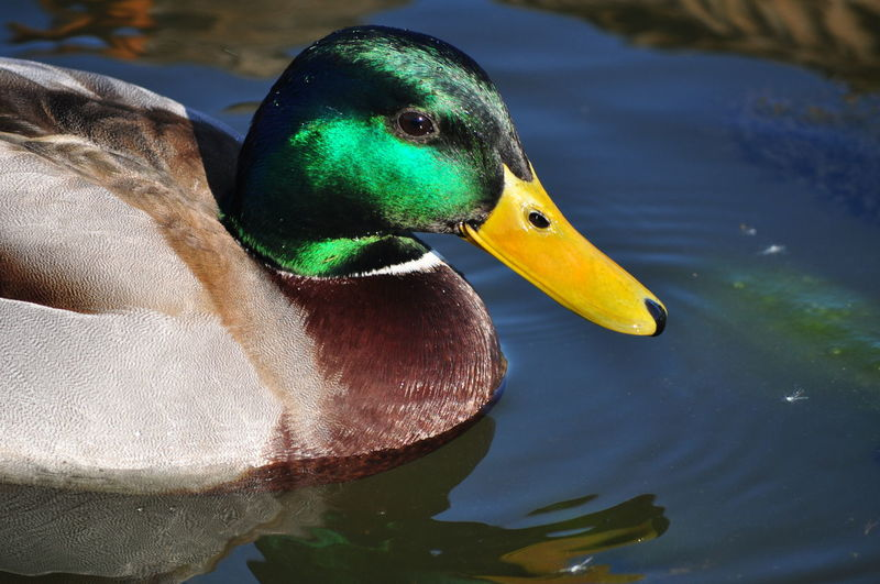 Mallard duck swimming on lake