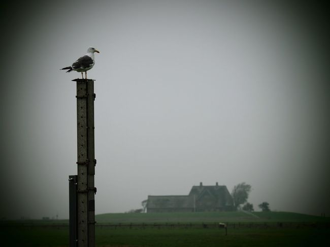 view of Hallig Hooge Hooge Europe Germany Grey Hallig North Sea Seagull Warft
