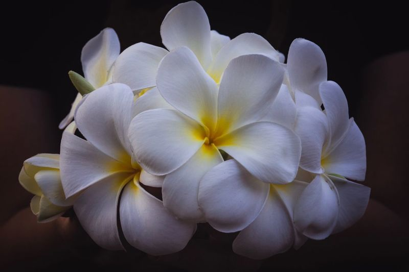 plumeria Close-up Beautiful Backgrounds White Flower Plumeria Flowering Plant Flower Plant Beauty In Nature Petal Inflorescence Flower Head