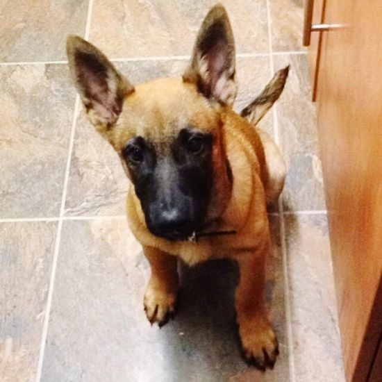 My puppy rebel Belgian Malinois