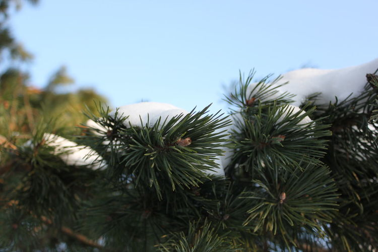 Beauty In Nature Close-up Day Focus On Foreground Green Color Growth Nature Needle No People Outdoors Pine Tree Plant Sky Tranquility Tree Winter EyeEmNewHere