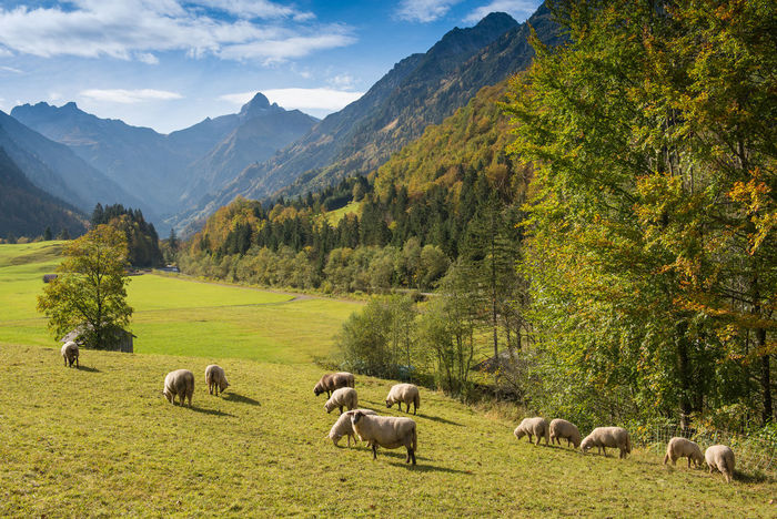 Flock of sheep on a pasture in Allgäu with mountains Allgäu Animal Themes Beauty In Nature Day Domestic Animals Flock Of Sheep Grass Grazing Landscape Large Group Of Animals Livestock Mammal Mountain Mountain Range Nature No People Outdoors Scenics Sheep Sheeps Sky Tranquil Scene Tranquility Tree