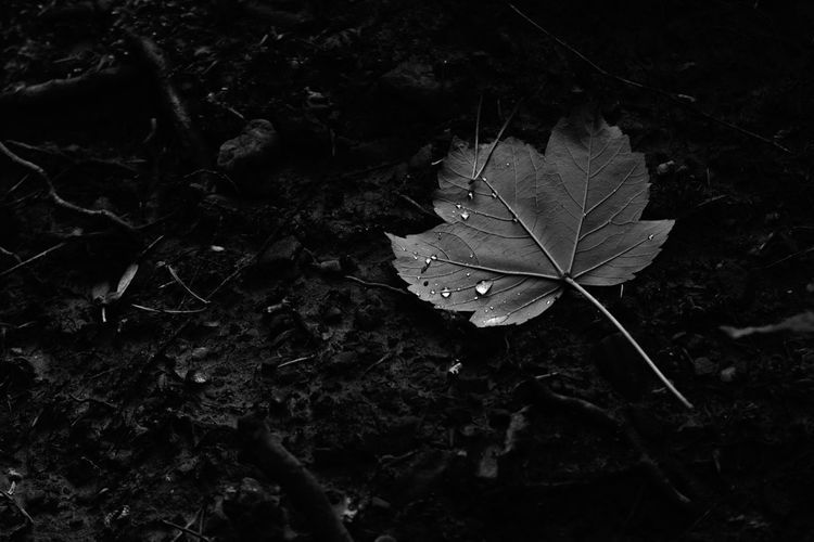 A fallen leaf covered in the morning rain caught in dappled sunlight Plant Part Leaf Plant Nature Autumn Close-up No People Beauty In Nature Day Land Dry Growth Outdoors Change Field Fragility Tree High Angle View Leaf Vein Vulnerability  Natural Condition Leaves Maple Leaf