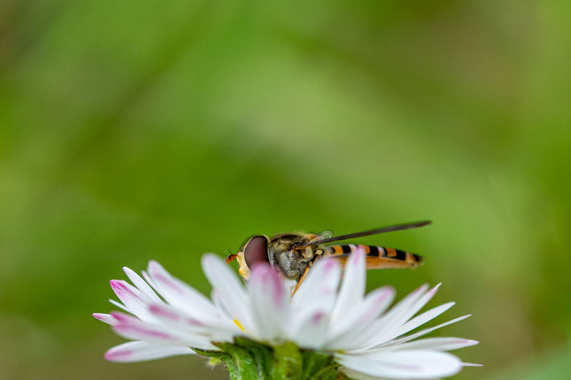 Hoverfly, syrphid fly, flower fly, collecting flower nectar from a daisy