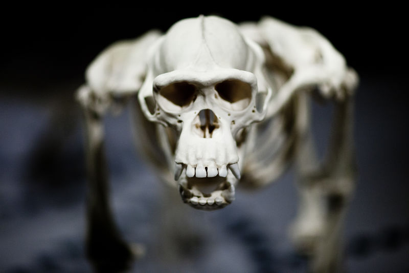 Close-up of chimpanzee skull