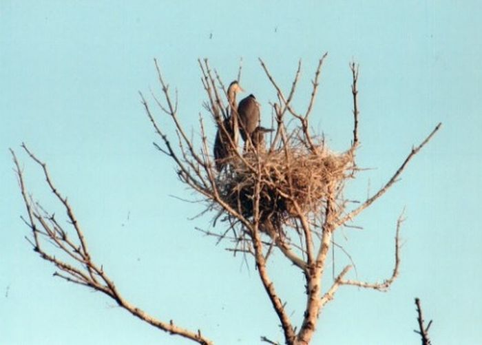 One at a time Mom And Pop Bird Nesting Material Baby Bird In Nest High Up Nest Large Nest Nature Nesting Birds Nesting Place