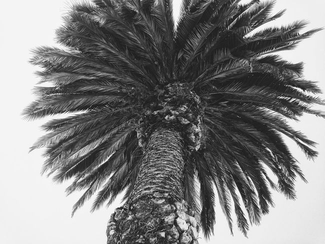 It's not a draw, it's a photo Hanging Out Taking Photos Check This Out Hello World Relaxing Enjoying Life Feel The Journey Colombia ♥  Colombia Boyaca Tunja Nature Photography Nature_collection Nature Tree_collection  Trees And Nature Trees Tree Blackandwhite Photography Black And White Photooftheday Peace Photography Palm Trees Palm Tree