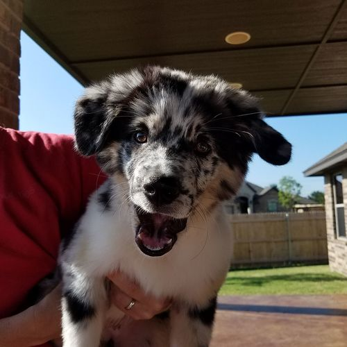 Pets Dog Domestic Animals One Animal Mammal Day Animal Themes Indoors  No People Protruding Portrait Close-up Sky Australian Shepherd Puppy Mini Aussie Blue Merle Dogs Blue Merle Mini Aussie Puppy Textures And Patterns Love