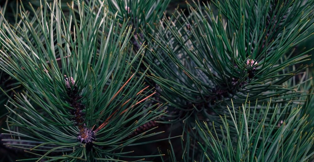 Nature Forest Photography Evergreen Xmas Nature_collection Macro
