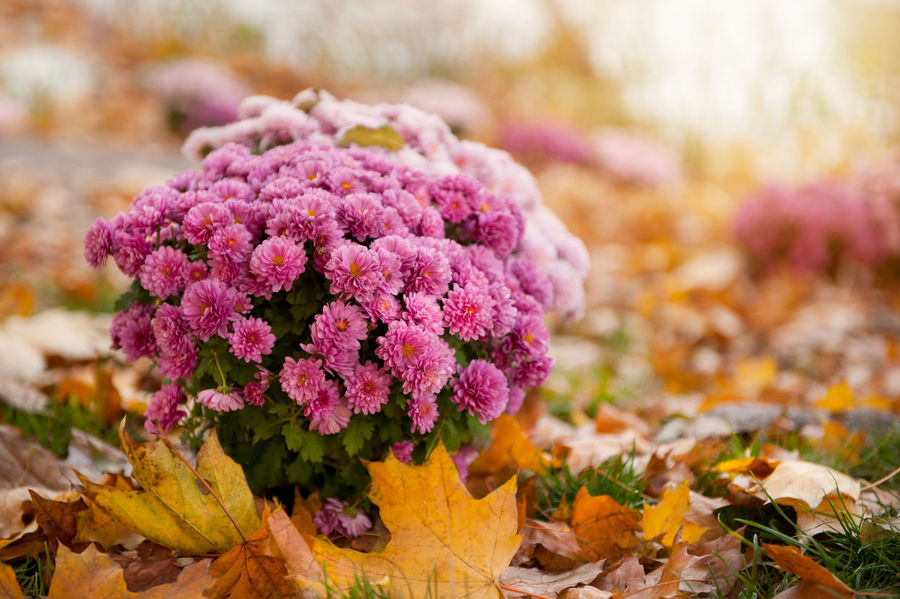 Bunch of flowering pink Dendranthema or Chrysanthemum clump and autumn leaves lying on the ground around, photo taken in ornamental park in Poland. Abloom Autumn Bloom Blooming Bunch Chrysanth Chrysanthemum Clump Dendranthema Flower Flowering Flowers Garden Growing Leaf Leaves Nature No People Ornamental Outdoors Pink Plant Plants Yellow