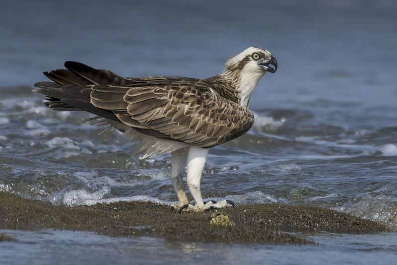 Osprey One Animal Animal Wildlife Animals In The Wild Bird Bird Of Prey Sea No People Close-up Nature Day Outdoors Water Sea Life Bird Photos Birds🐦⛅ Clear Sky Beauty In Nature Feather  Beak Side View Looking At Camera Portrait Talons Standing