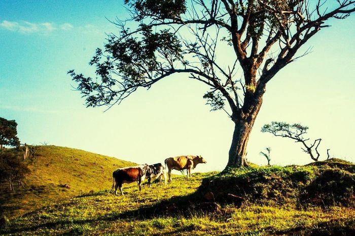 Tree Nature Cows Senhora Do Carmo