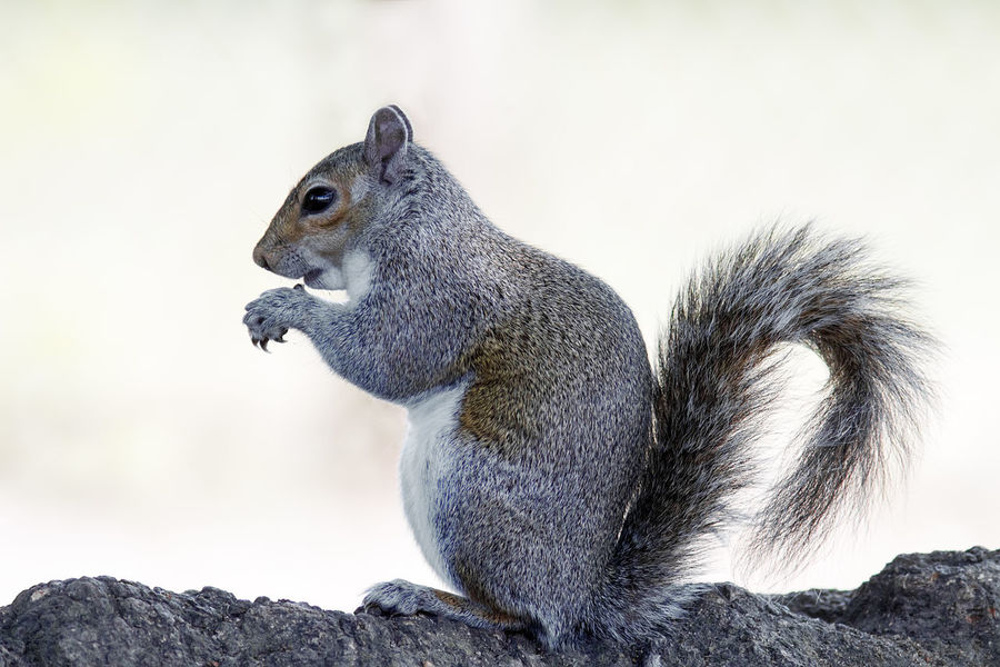 Squirrel. Alertness Animal Animal Head  Animal Themes Animals In The Wild Balance Brown Close-up Curiosity Cute Day Focus On Foreground Grey Squirrel Looking Mammal No People One Animal Relaxing Squirrel Squirrel Wildlife Zoology