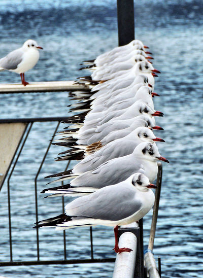 Animal Animal Themes Animals In The Wild Bird Group Of Animals Lake Nature No People Seagull