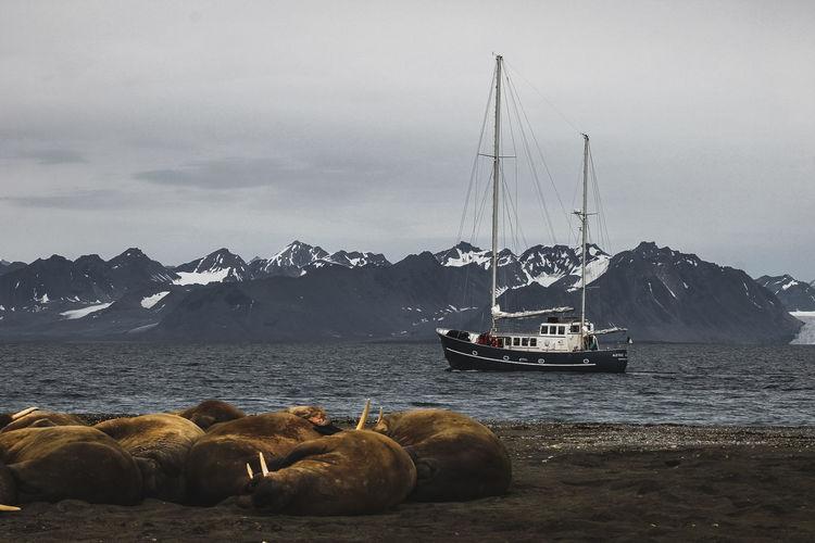 Walrus Relaxing By Sea