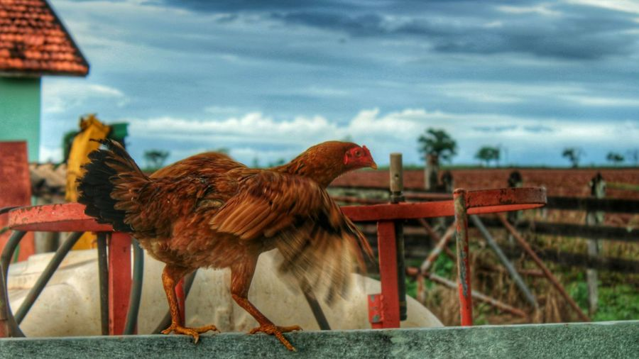 Farm Life Farm Animals Farmlandscape Chicken Wings Taking Photos Hello World Beautiful Earth EyeEm Nature Lover Natural Beauty Enjoying Life Wonderful World The Pursuit Of Happiness Eyem Nature Lovers  Beautiful Place Tadaa Community Capture The Moment Eyem Best Shots Simple Moment Simplelife Life's Simple Pleasures... Simple Elegance