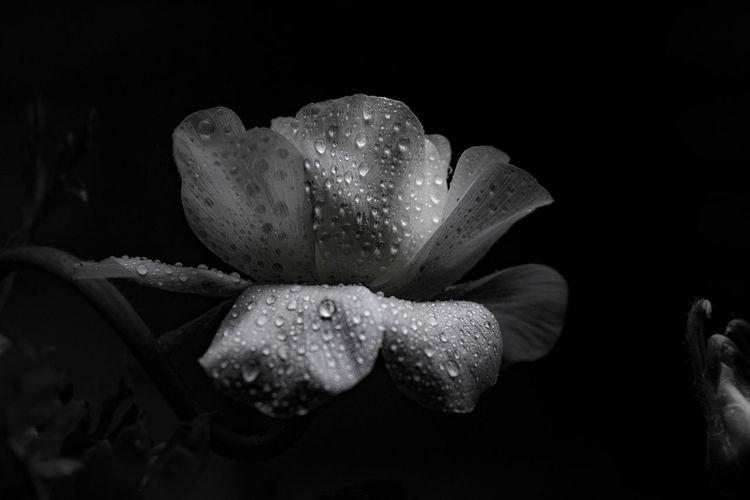 Close-up of wet flower against black background