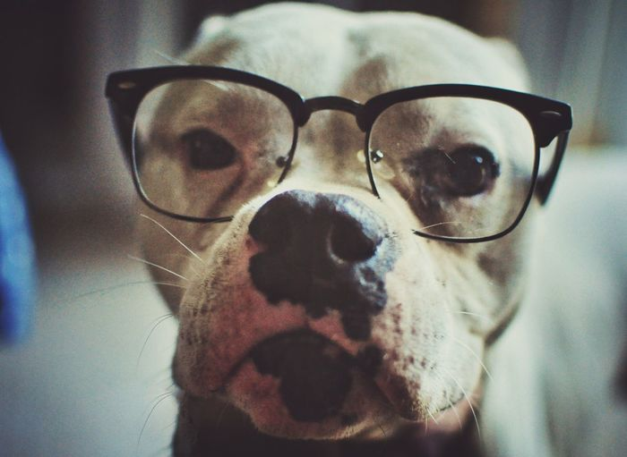 My dog hueso ^-^ Picturing Individuality Nerd Photography Anonymousnate Capture The Moment Glasses Dog Pitbull Check This Out Showcase: November