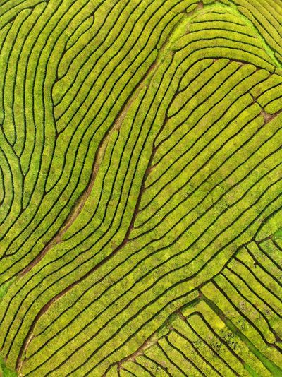 Birds eye view of patterns at the plantation Drone Photography DJI Mavic Air DJI X Eyeem Portugal Açores - São Miguel Tourism Green Color Pattern Full Frame No People Backgrounds Nature Agriculture Scenics - Nature Natural Pattern High Angle View Environment Food And Drink Plant Land Rural Scene Day Landscape Outdoors Beauty In Nature Growth