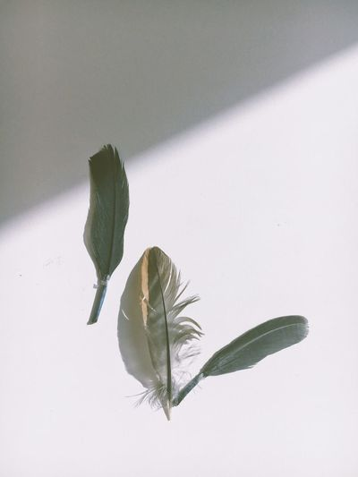 Feathers on a white table with shadow Feather  Nature No People 17.62° Day Sunlight Indoors  Beauty In Nature Copy Space White Color Shadow Vulnerability  Close-up Fragility