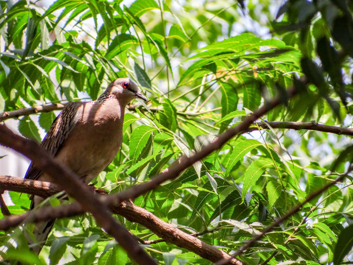 PIGEON ON THE TREE Branches Of Trees Nature Lush - Description Greenery Neem Tree Bird Tree Perching Mourning Dove Branch Leaf Animal Themes Close-up Plant Green Color Tropical Bird